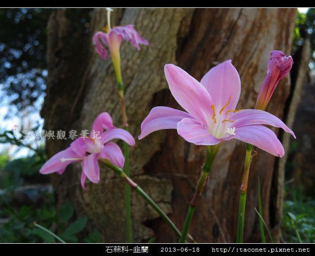 石蒜科-韭蘭_08