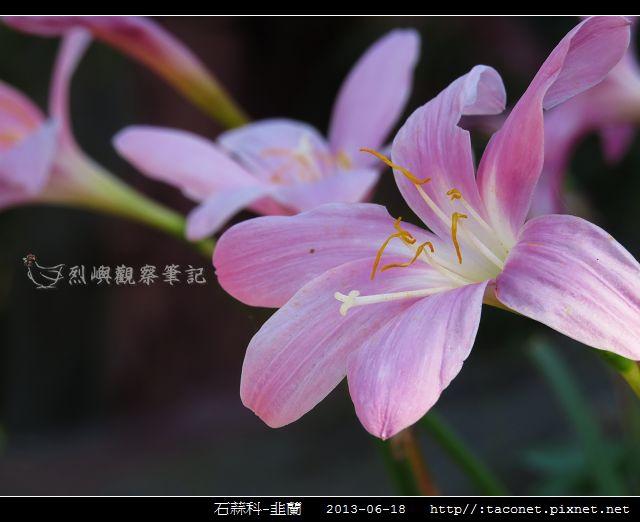 石蒜科-韭蘭_10