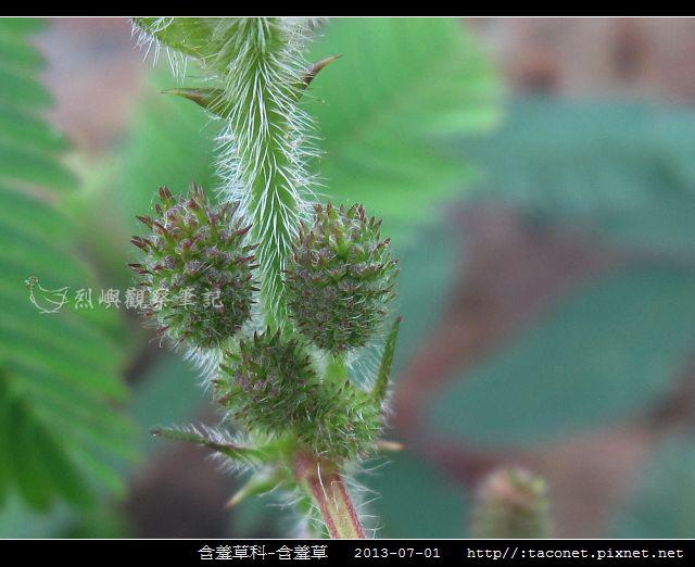 含羞草科-含羞草_03.jpg