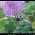 含羞草科-含羞草_07.jpg