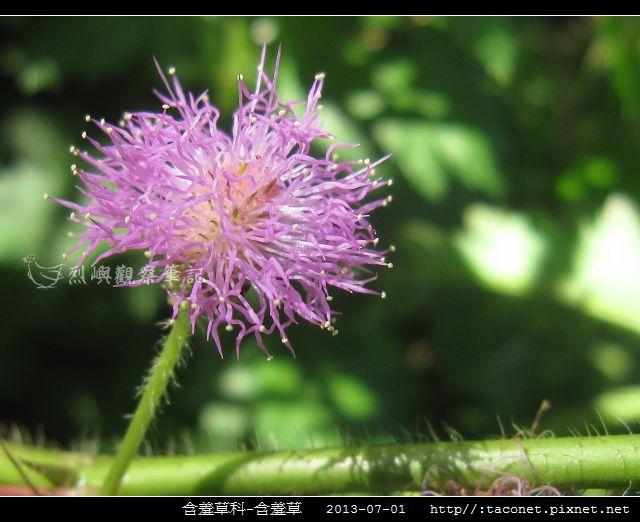 含羞草科-含羞草_09.jpg
