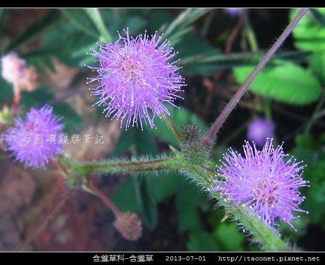 含羞草科-含羞草_10.jpg