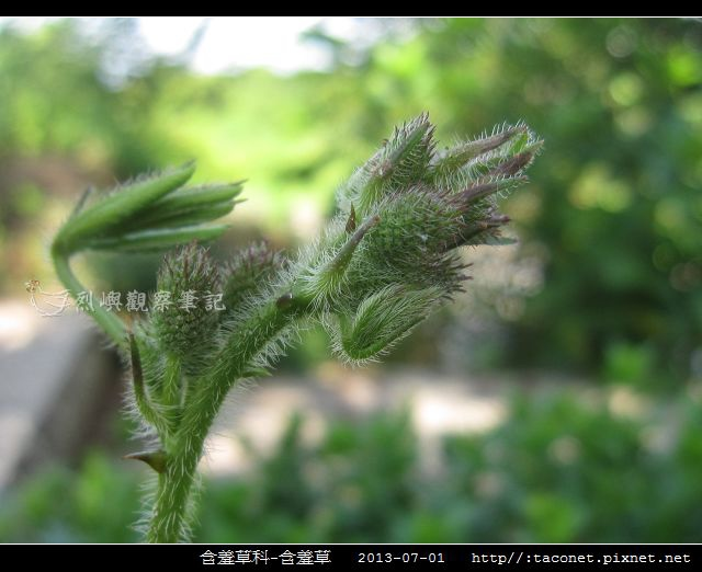含羞草科-含羞草_12.jpg