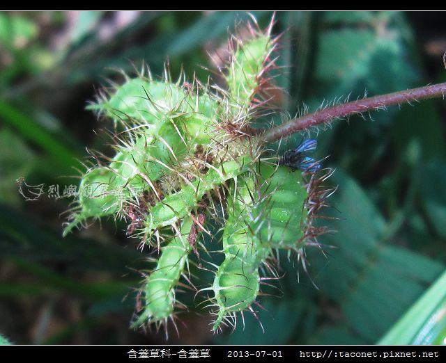 含羞草科-含羞草_11.jpg