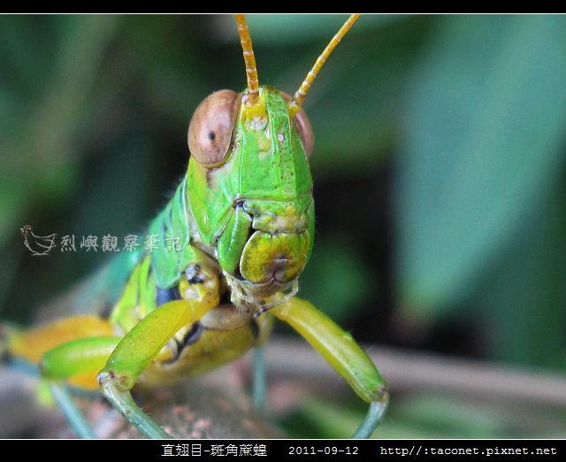 直翅目-斑角蔗蝗_06.jpg