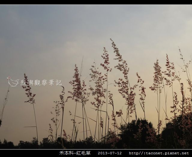 禾本科-紅毛草_03.jpg