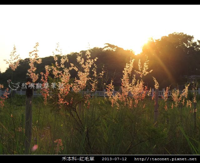 禾本科-紅毛草_05.jpg