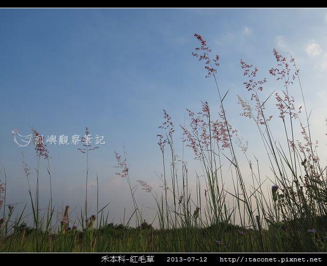 禾本科-紅毛草_04.jpg