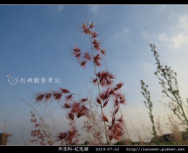 禾本科-紅毛草_06.jpg