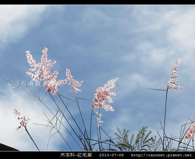 禾本科-紅毛草_10.jpg