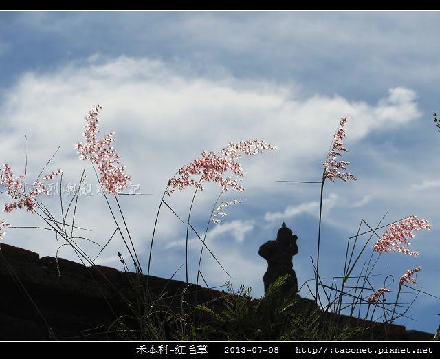 禾本科-紅毛草_11.jpg