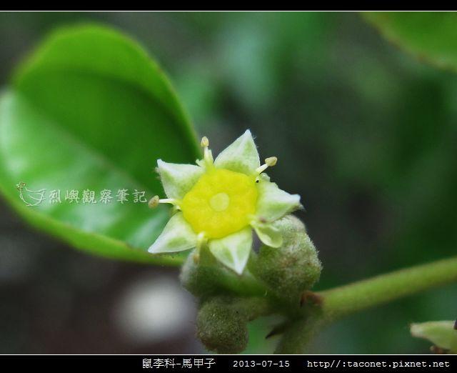 鼠李科-馬甲子_06.jpg