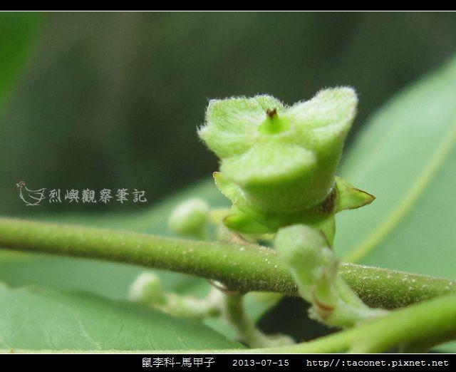 鼠李科-馬甲子_08.jpg