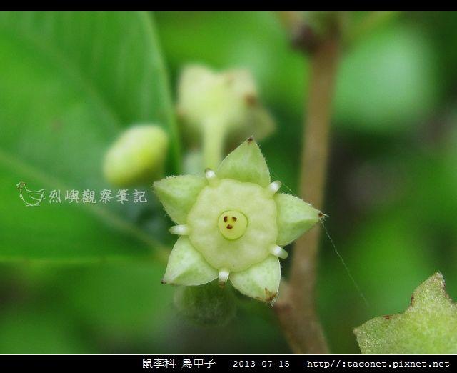 鼠李科-馬甲子_09.jpg