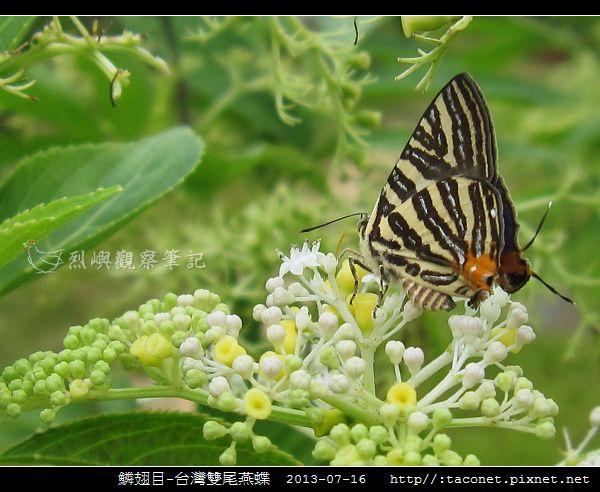 鱗翅目-台灣雙尾燕蝶_02.jpg