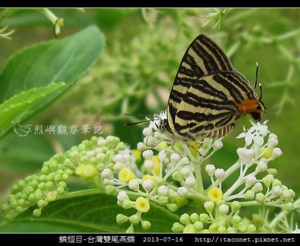 鱗翅目-台灣雙尾燕蝶_01.jpg