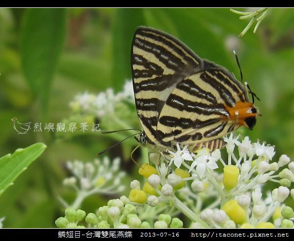 鱗翅目-台灣雙尾燕蝶_03.jpg