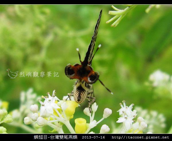 鱗翅目-台灣雙尾燕蝶_05.jpg