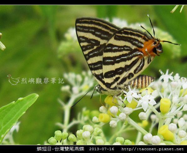 鱗翅目-台灣雙尾燕蝶_04.jpg