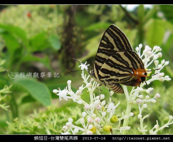 鱗翅目-台灣雙尾燕蝶_07.jpg