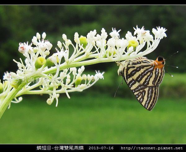 鱗翅目-台灣雙尾燕蝶_08.jpg