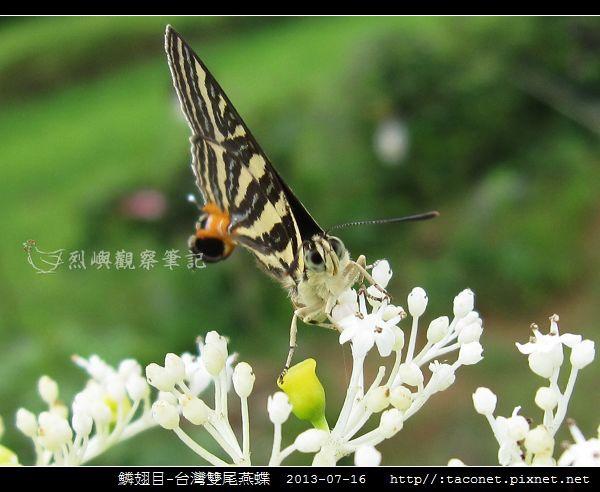 鱗翅目-台灣雙尾燕蝶_09.jpg