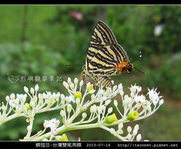 鱗翅目-台灣雙尾燕蝶_11.jpg