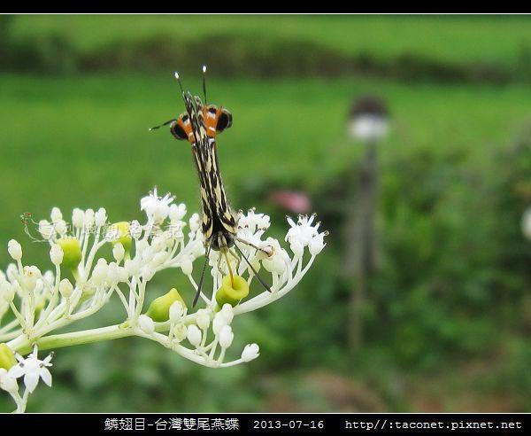 鱗翅目-台灣雙尾燕蝶_10.jpg