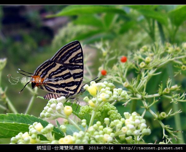 鱗翅目-台灣雙尾燕蝶_12.jpg