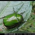 鞘翅目-赤腳青銅金龜_02.jpg