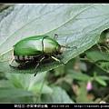 鞘翅目-赤腳青銅金龜_03.jpg