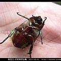 鞘翅目-赤腳青銅金龜_04.jpg