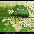 鞘翅目-赤腳青銅金龜_05.jpg