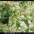 鞘翅目-赤腳青銅金龜_06.jpg