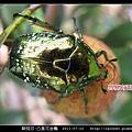 鞘翅目-凸星花金龜_01.jpg