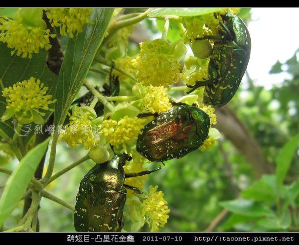 鞘翅目-凸星花金龜_02.jpg