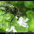 鞘翅目-凸星花金龜_04.jpg