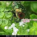 鞘翅目-凸星花金龜_05.jpg
