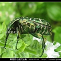 鞘翅目-凸星花金龜_07.jpg