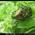 鞘翅目-凸星花金龜_08.jpg