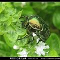 鞘翅目-凸星花金龜_06.jpg