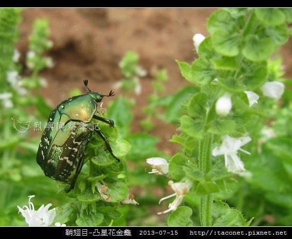 鞘翅目-凸星花金龜_10.jpg