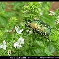鞘翅目-凸星花金龜_09.jpg