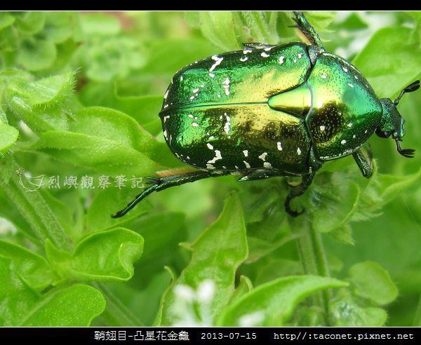 鞘翅目-凸星花金龜_11.jpg