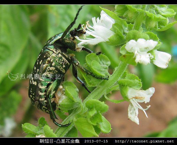 鞘翅目-凸星花金龜_14.jpg