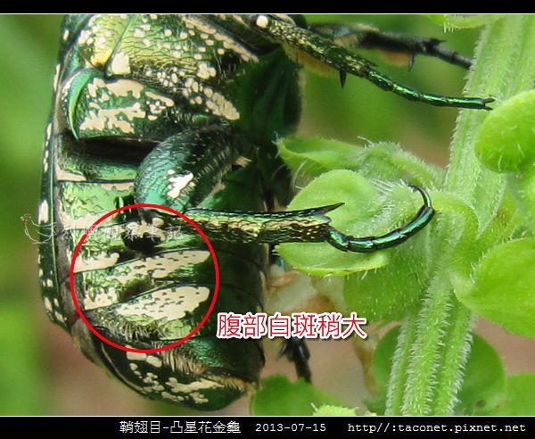 鞘翅目-凸星花金龜_13.jpg