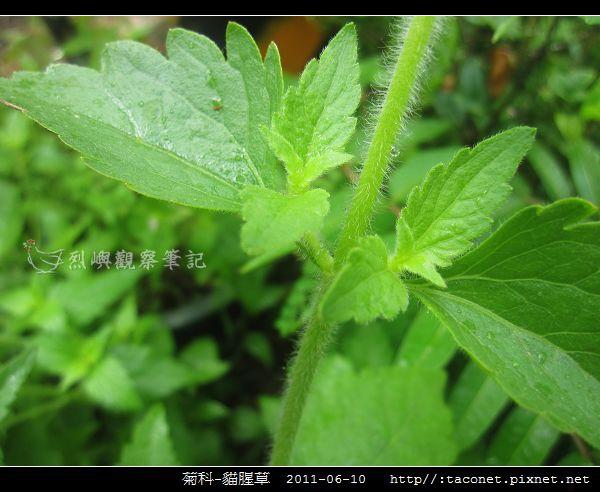 菊科-貓腥草_07.jpg