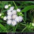 菊科-紫花藿香薊_03.jpg