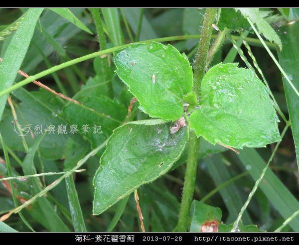 菊科-紫花藿香薊_02.jpg