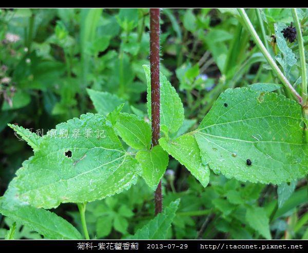 菊科-紫花藿香薊_10.jpg